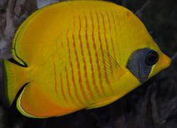 gul-fjarilsfisk_2-2