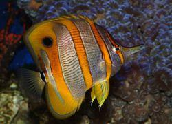pincettfisk-20-cm-indiska-vastra-stilla-624x415-1